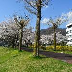 湖畔公園の桜