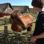 Feeding the Icelandic horses