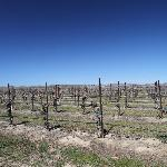 The vineyards in March