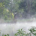 Geese in early morning fog on Lake Eden