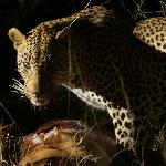 Leopard on Game Drive (photo by s.needles)