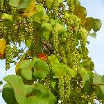 Sea grape tree on the beach