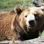 Montana Grizzly Encounter in Bozeman