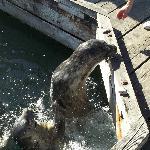 Harbor Seals at Victoria BC Marina