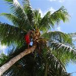 Cutting the coconuts and trimming the trees