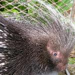 Porcupine, seen on the property.