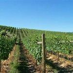 Summa Quies Vineyard, Pinot Noir