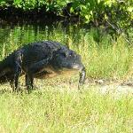Gator walking to the Boat