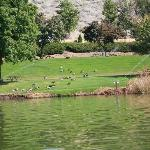 Canadian Geese in the Campground
