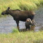 Moose visiting the pond
