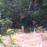 Two deer along trail to lighthouse