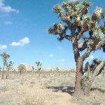 Yes, we have Joshua Trees
