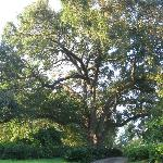 100+ year old tree on the grounds