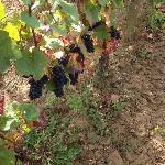uvas pinot noir