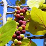 ripened grapes
