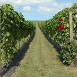 Pebblebed Ebford Vineyard