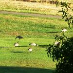 Some Geese on the Golf Course from the porch.