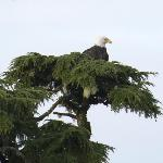 Bald eagle roosting at rear of B&B