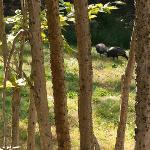 Turkeys seen from porch