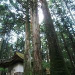 霊木の三本杉