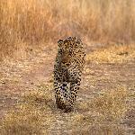 Leopard No.1
