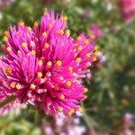 Fleur de Haute -Savoie