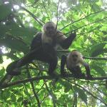 Capuchins in the trees during our hike.