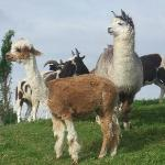 the lamas take care of the grass in the hotel grounds