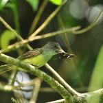 Myarchus tuberculifer - Kappentyrann