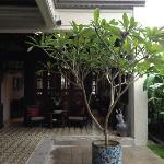 Frangipani tree in the courtyard.