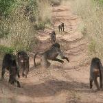 Group of Baboons on our track