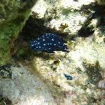 Juvenile yellow tailed damselfish (snorkeling)