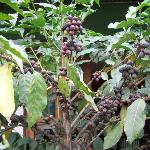 Coffee tree in front