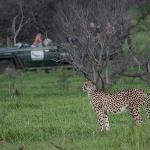 Female Cheetah on a hunt with a Phinda safari vehicle in background