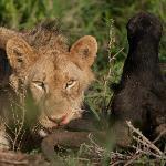 Lioness feeding on a dead Wildebeest