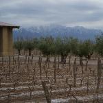 Olive trees around the vineyard.