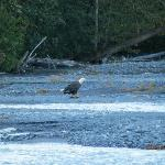 Eagle dining on salmon acroos the street from the lodge.