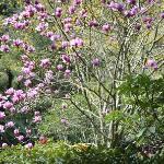 Pukekura Park magnolia