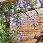 Wisteria outside Cottage 1