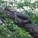 water Monitor Lizard spotted on cruise