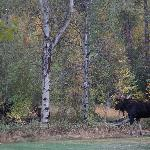 Moose in the backyard of the inn