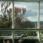 Magnolia outside room 1 in bud
