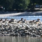 Family of mergansers on the Atnarko river seen on slow drift