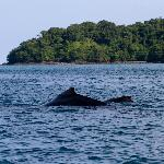 Humpback whale and calf in Coiba National Park