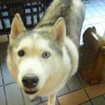 マスコット犬のシベリアンハスキー
