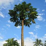 One of many papaya trees on the grounds