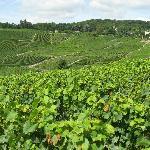 Epernay region Vineyard