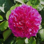 Prospero Rose in Rose Garden