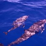 Another shot of the mother and baby dolphin