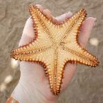 Starfish, Found when snorkeling